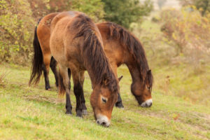 Two Exmoor ponies eating grass
