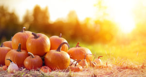 Several pumpkins in a sunlit field