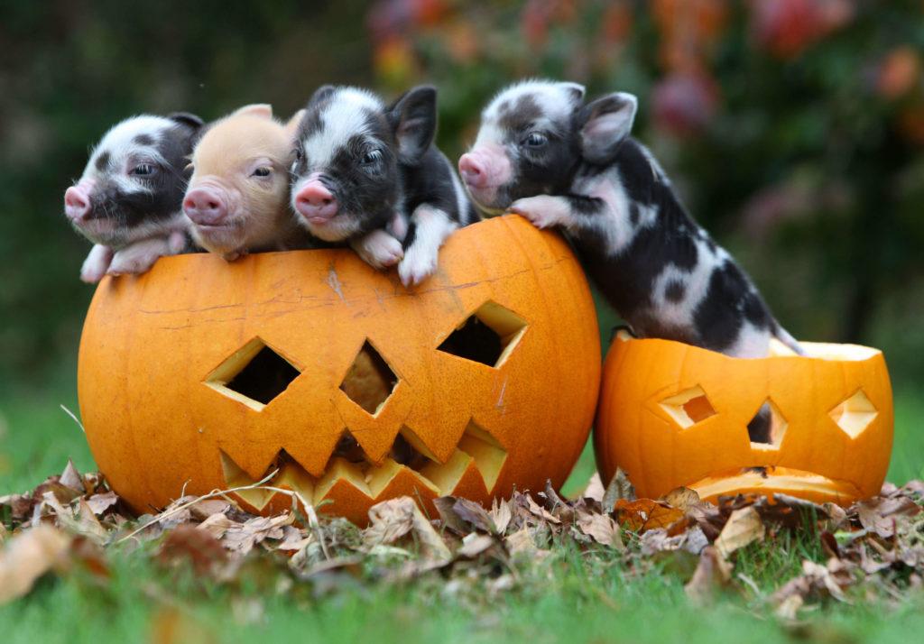 Four Piglets in Halloween Pumpkins