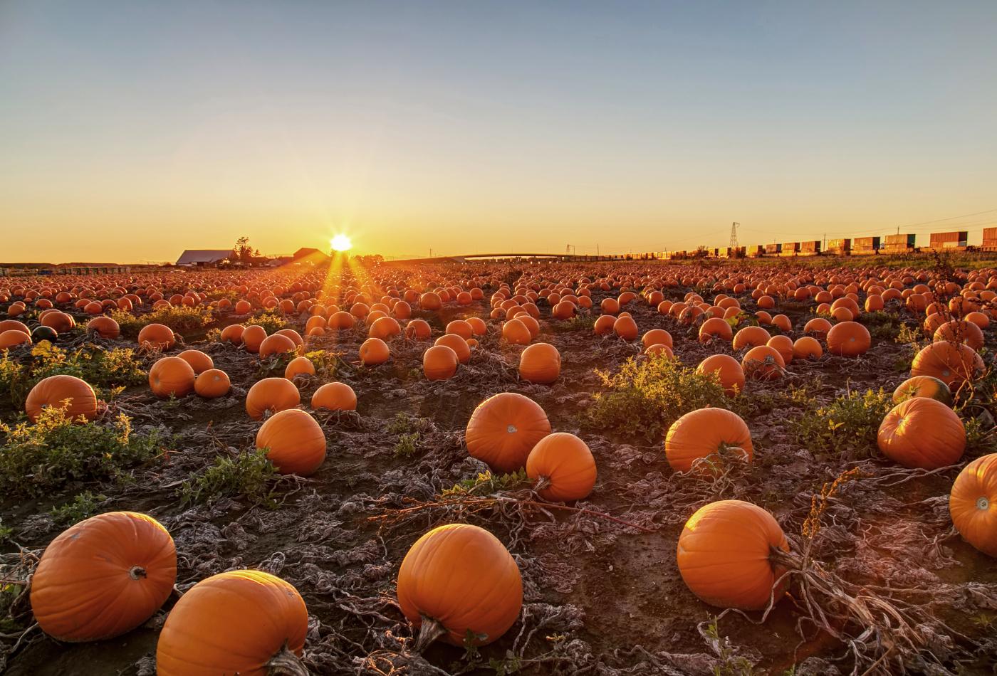 pumpkin field at sunset.