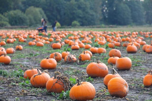 pumpkin picking patch.