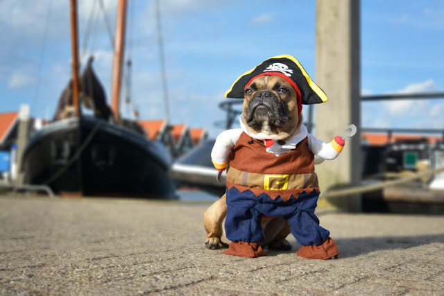French bulldog pirate costume