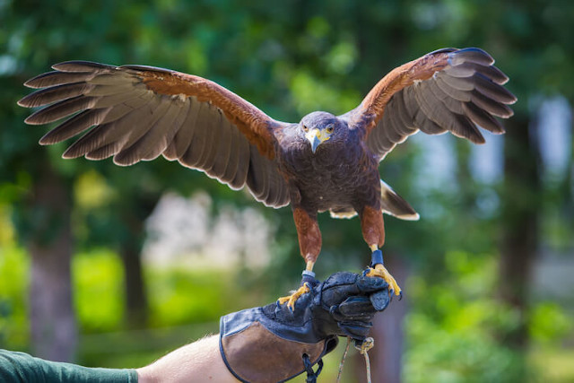 Harris Hawk landing on falconry glove