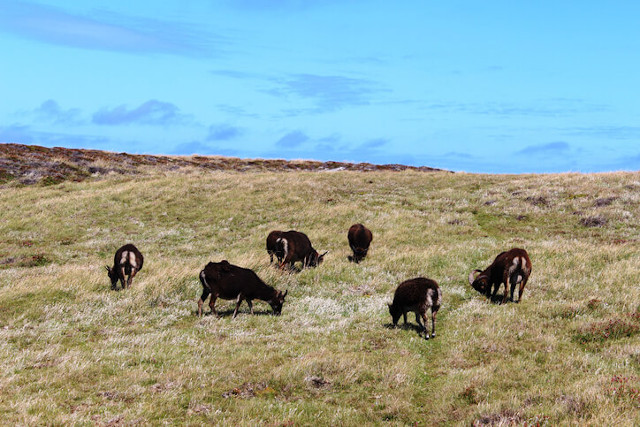 Soay sheep grazing on Lundy Island