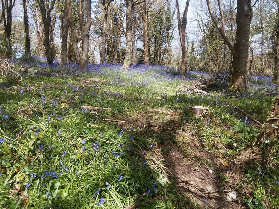 Idless Woods - one of the Top 5 Spring Walks in Cornwall