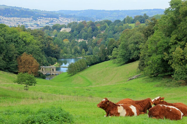 Cows-in-a-field-in-front-of-Bath-skyline-Prior-Park-Landscape-Gardens-in-Bath