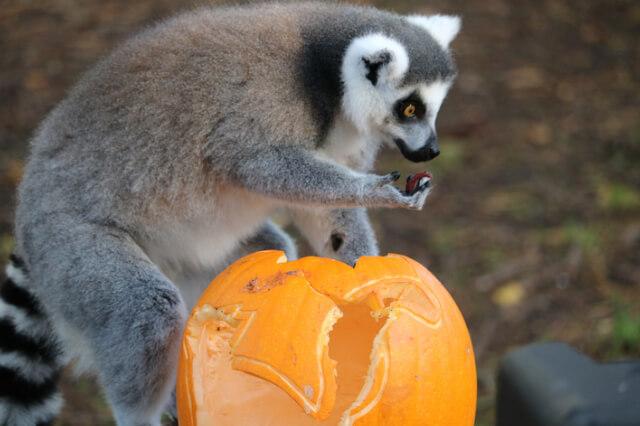 lemur-eating-a-pumpkin